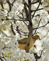 """Dove in a Cherry Tree""  (Front Street)  Traverse City, Michigan by Michigan Nut"