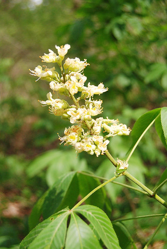 Flowering spike of Buckeye, Aesculus glabra, seen in the creek drainage of Piney Creek Wilderness.