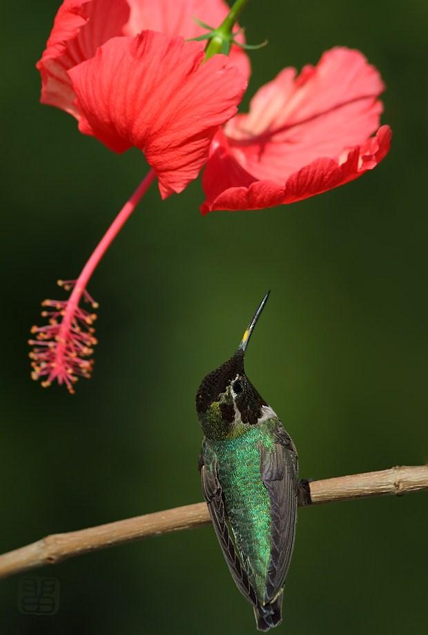 Hibiscus & Anna's Hummingbird041812