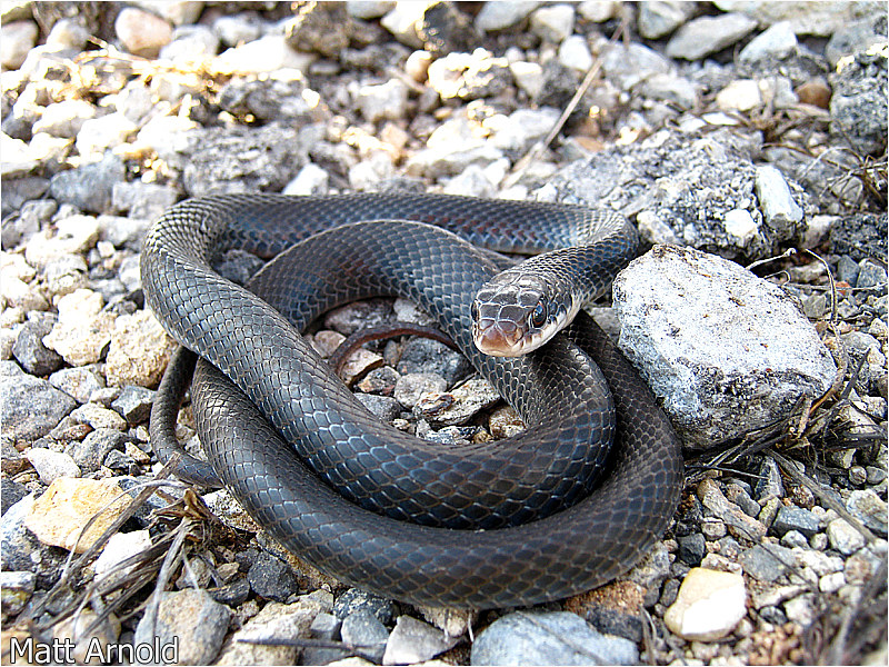 Field Herp Forum • View topic - Some recent stuff (ANF and ...