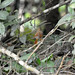 Small photo of Orange-billed Nightingale-Thrush