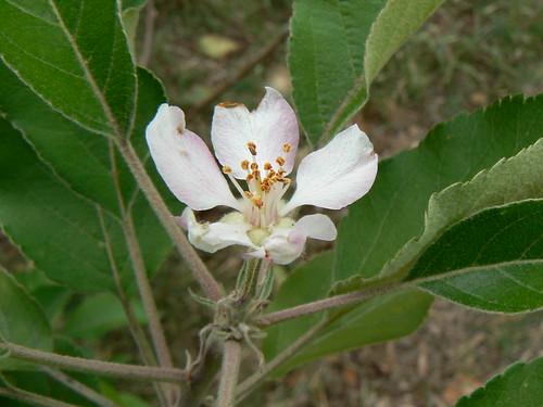 Dorset Golden apple blossom