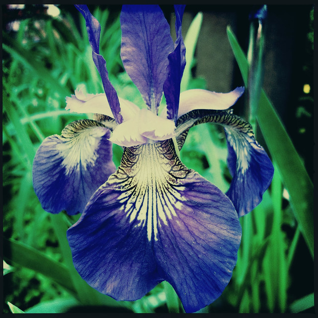 Japanese Iris (Iris sanguinea)