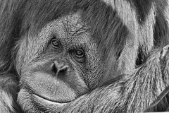 nose, animal, orangutan, mammal, great ape, monochrome photography, gorilla, fauna, close-up, common chimpanzee, monochrome, ape, black-and-white,
