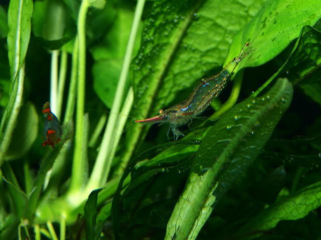 P5310018 木偶蝦 紅戢槍蝦