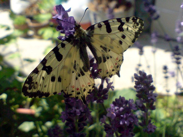 Butterfly & Lavender