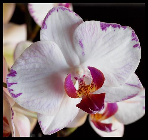 Magenta-Veined Orchid