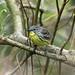 Kirtland Warbler - Female