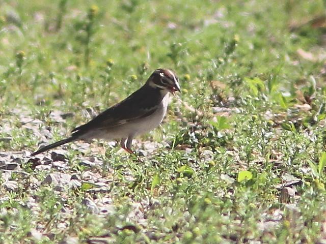 Lark Sparrow (Chondestes grammacus) 2-20120515