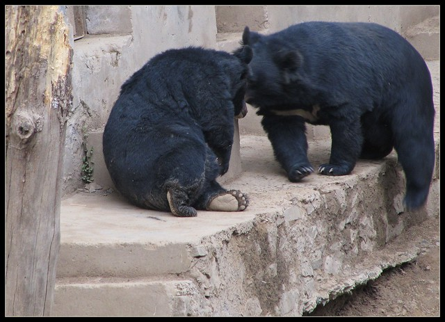 Himalayan Black Bears