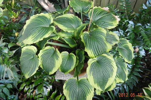 Hosta NOID 'Satisfaction'?