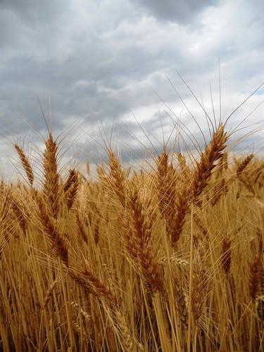 Wheat on a rainy day