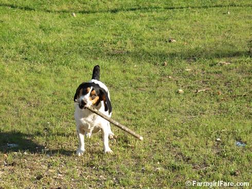 Beagle bites 1 - FarmgirlFare.com