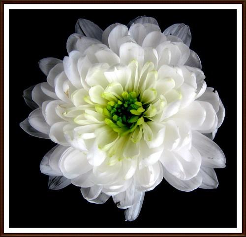 White   Dahlia(explore)Thank you.