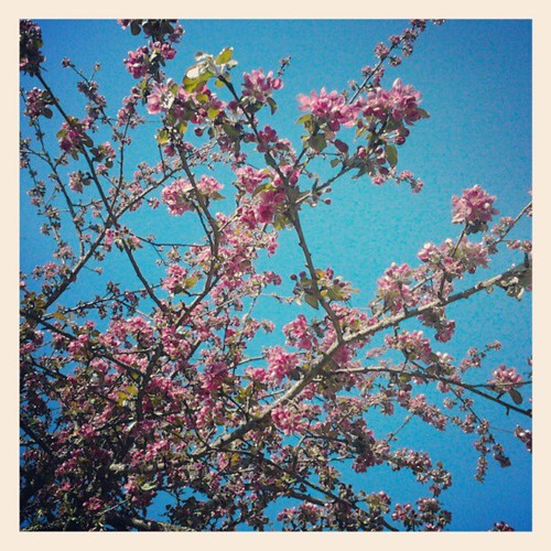 Apple blossom in the garden by Sundinska
