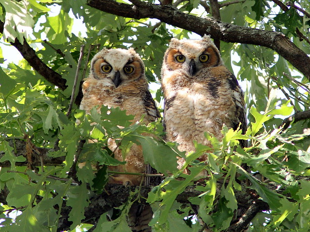 Great Horned Owlets 2-20120523