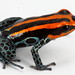 reticulated poison frog - Photo (c) Santiago Ron, some rights reserved (CC BY-NC)