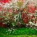 Den gamle låven og kirsebærblomstring