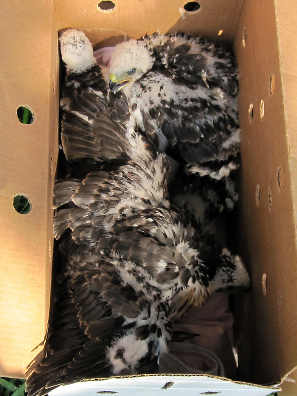 four baby Cooper's Hawks