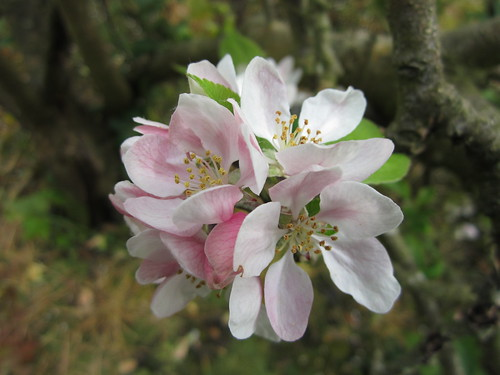 Apple Blossoms #2