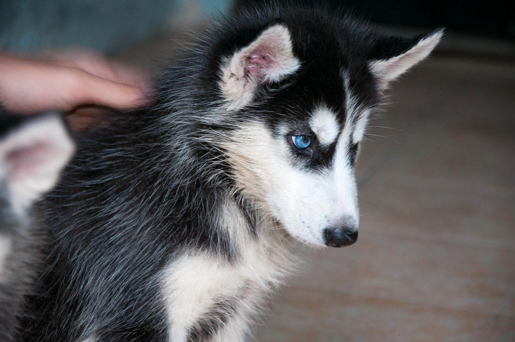 Bán chó Husky mắt xanh 6tr tuyệt đẹp - 4