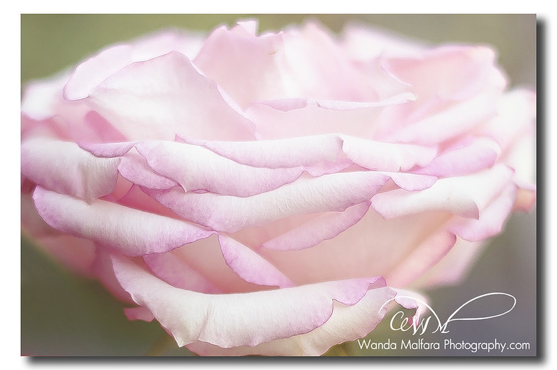 Roses - pink 020