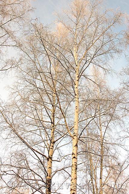 Koivu - Betula