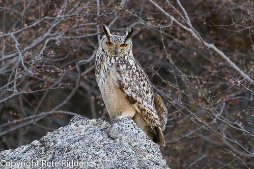 india birds owls indianbirds bubobengalensis indianeagleowl