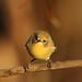 Small photo of Yellow Thornbill (Acanthiza nana)