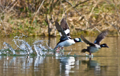 Bufflehead Duck