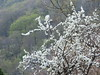 Rami bianchi sulla collina