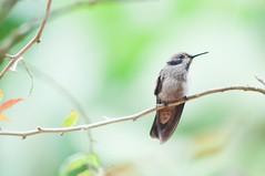 Suave colibrí