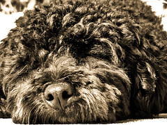 animal(1.0), dog(1.0), pet(1.0), mammal(1.0), bouvier des flandres(1.0), newfoundland(1.0), barbet(1.0),