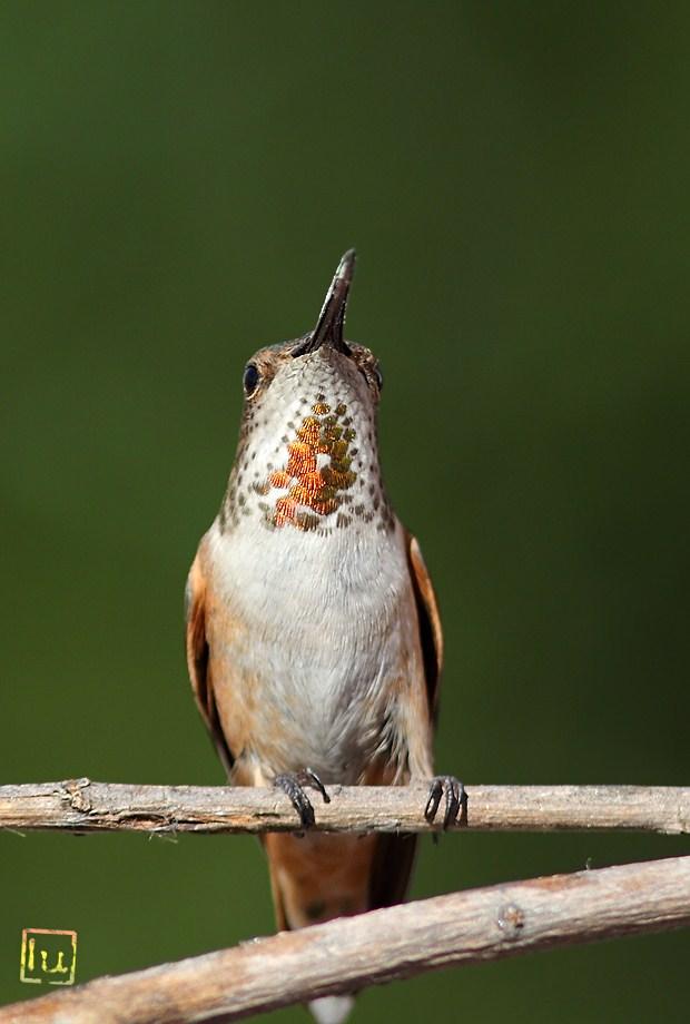 Allen's Hummingbird 041612-2