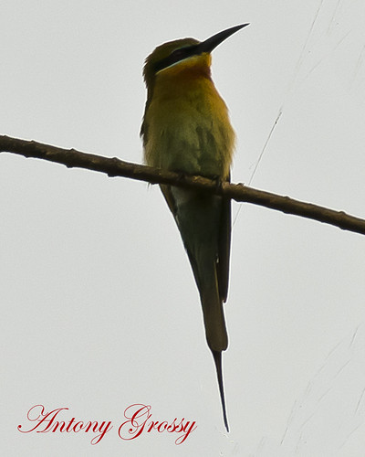 "world wild green bird nature birds indian birding bee tropical chickadees ""indian ""old "" passerine flycatchers india"" bird"" ""green titmice ""tropical life"" ""wild ""birds ""bee birds"" orientalis"" eater"" ""insect flycatcher"" ""merops eaters"" greencolouredbird"