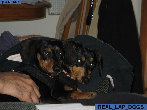 real_lap_dogs