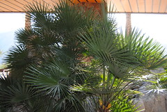 date palm(0.0), flower(0.0), garden(0.0), spruce(0.0), arecales(1.0), evergreen(1.0), borassus flabellifer(1.0), branch(1.0), tree(1.0), plant(1.0), saw palmetto(1.0),