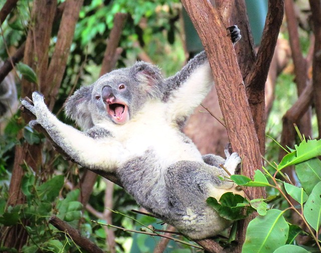 Koala High Five | Flickr - Photo Sharing!