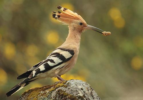 無料写真素材, 動物 , 鳥類, ヤツガシラ