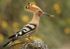 [フリー画像素材] 動物 2, 鳥類, ヤツガシラ ID:201204250400