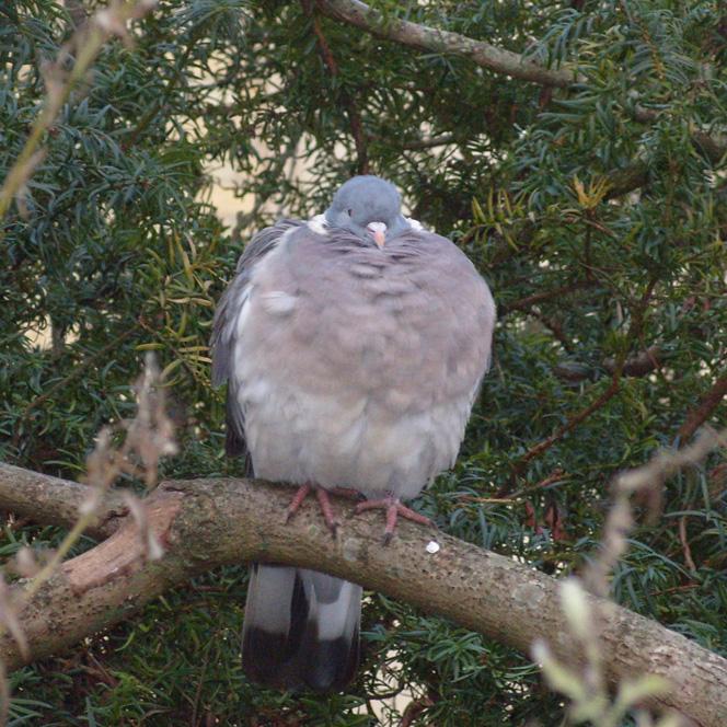 Lazy Pigeon