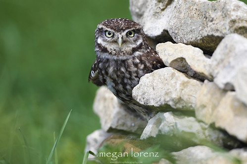 Little Owl - Big Attitude by Megan Lorenz