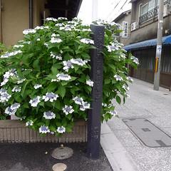 Hydrangea in Kamishichiken