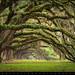 Charleston SC Plantation Live Oaks - Avenue of Oaks