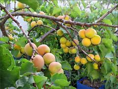 Blenheim apricots, 2012