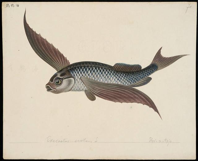 Exocoetus evolans L [= Exocoetus volitans Linnaeus, 1758]