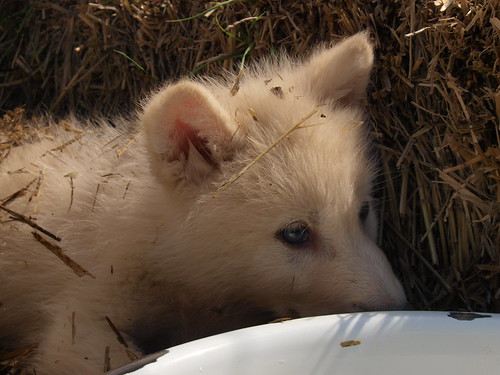 2012-05-12 Fur-Ever Wild Wolf Puppy Madness 152 by puckster55pics