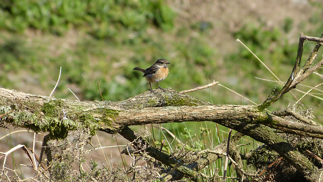 27289 - Stonechat, Bryn-bach-Common