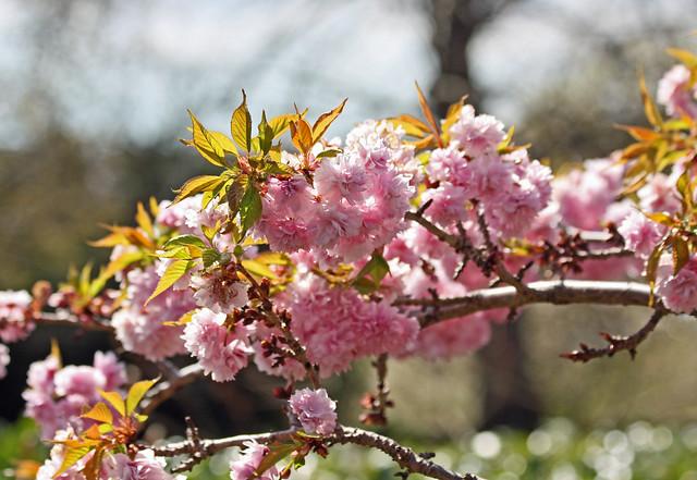 Redhill Garden - Apr 2012 - Cherry Blossom Bokeh