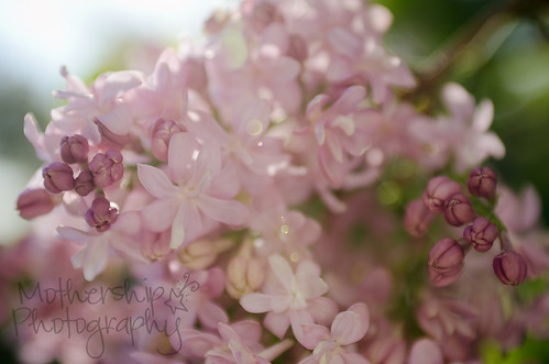 lilacs with flair (erm, flare)